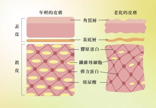 熊貓針抗衰-直接補充膠原蛋白
