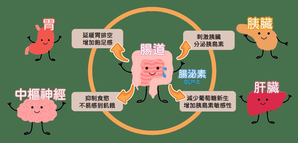 GLP-1作用-善纖達saxenda