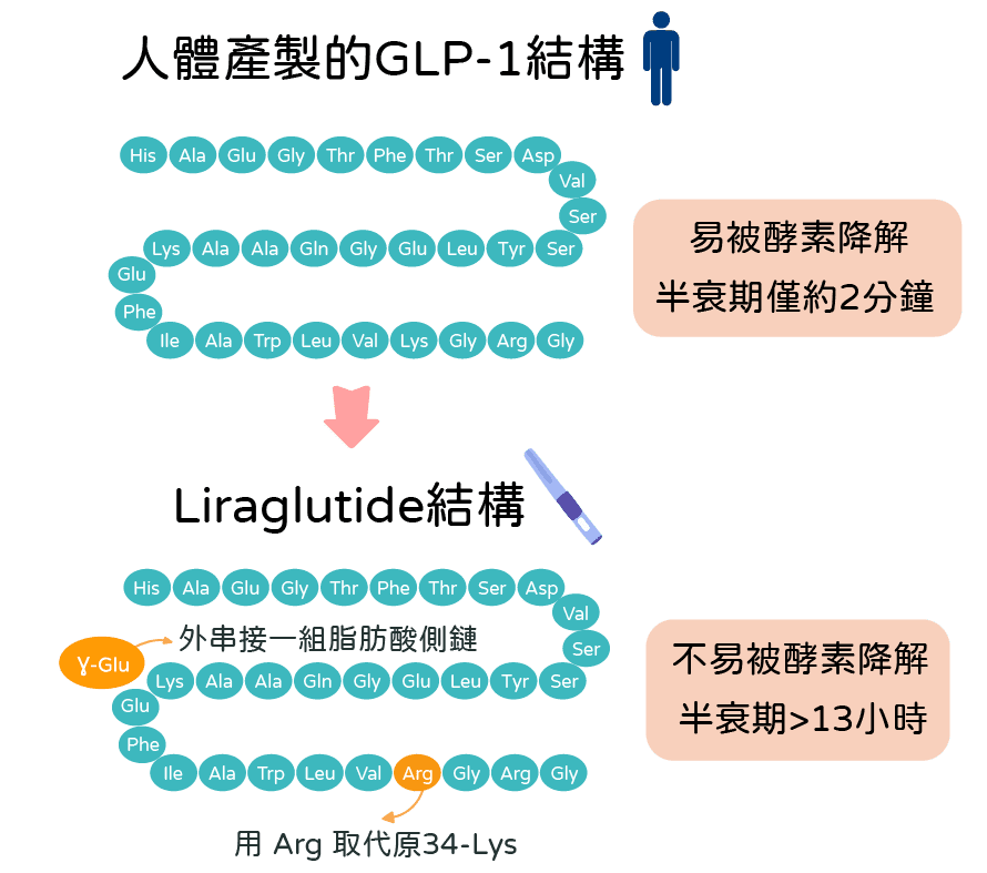 善纖達liraglutide與人體GLP-1機制比較