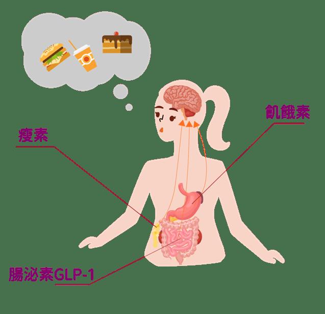 影響肥胖的荷爾蒙-減肥筆機制