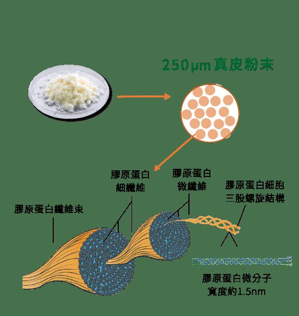 異體真皮粉的螺旋膠原蛋白纖維結構成分